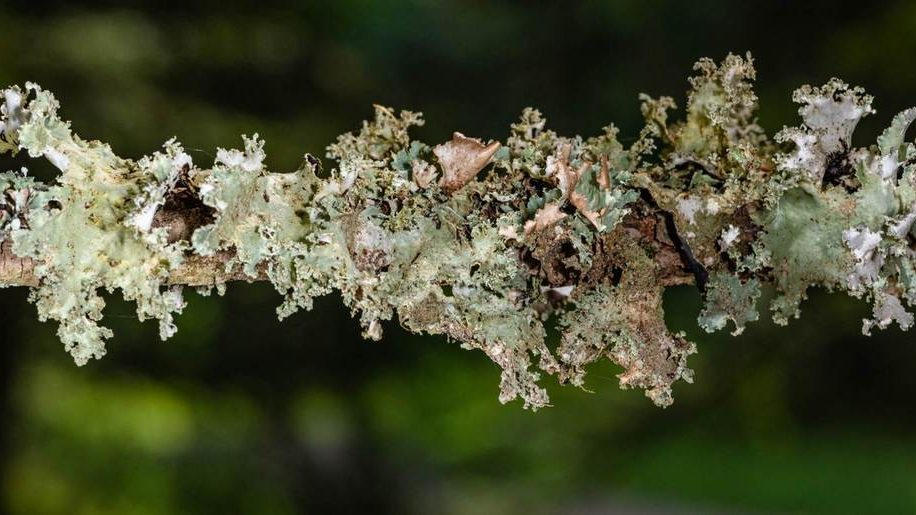 image-Lichens et qualité de l'environnement
