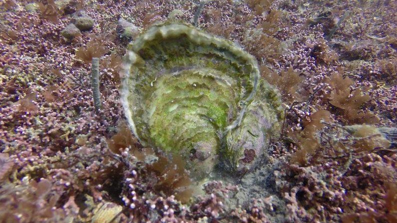 image-Les huîtres : ces architectes méconnus des milieux côtiers